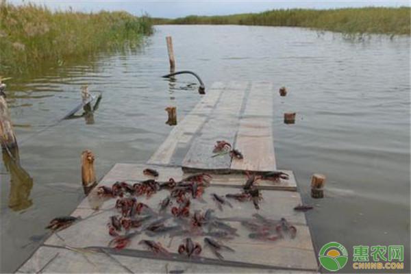 小龙虾收购价几近腰斩,小龙虾养殖还能赚钱么?