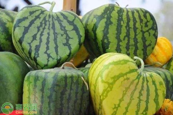 心形西瓜是怎么种出来的?种植心形西瓜赚钱么?