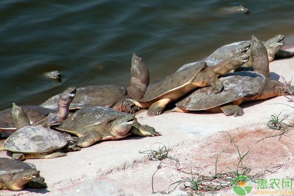 甲鱼养殖技巧和技术要点有哪些?
