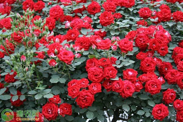 大花月季三年生价格多少钱一棵?大花月季种植前景分析