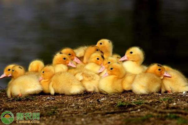 雏鸭的怎么样饲养与鸭场怎么样管理?