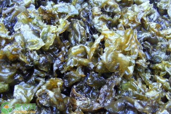 地皮菜有何功效?地皮菜人工培育技术