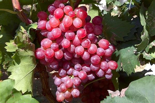 2020葡萄价格多少钱一斤?种植葡萄还能赚钱么?