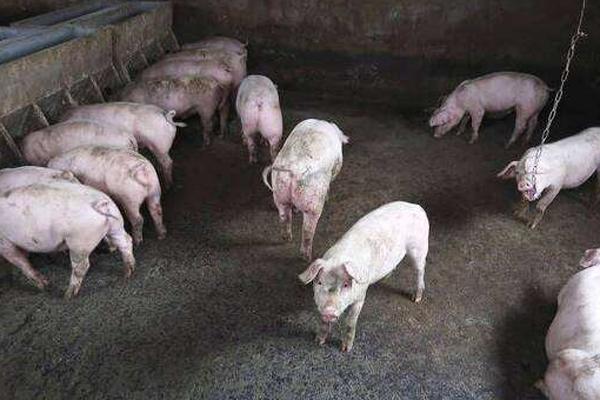 2020年猪流感病毒是真的吗?