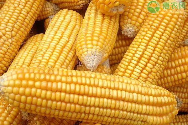 2020玉米多少钱一吨?全国玉米价格普遍上涨!