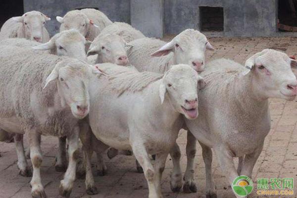 8月活羊价格最新行情,后期活羊价格走势分析