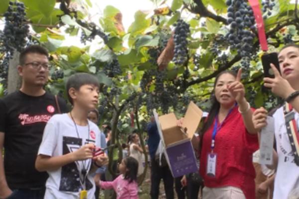 中方葡萄成熟时 辛勤果农展笑颜