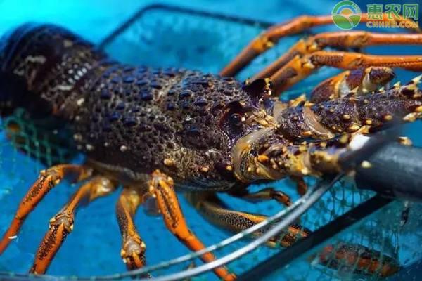 澳洲大龙虾多少钱一只?澳洲龙虾为什么那么贵?