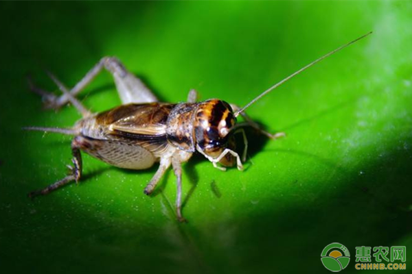 蟋蟀是昆虫吗?蟋蟀怎么养殖?