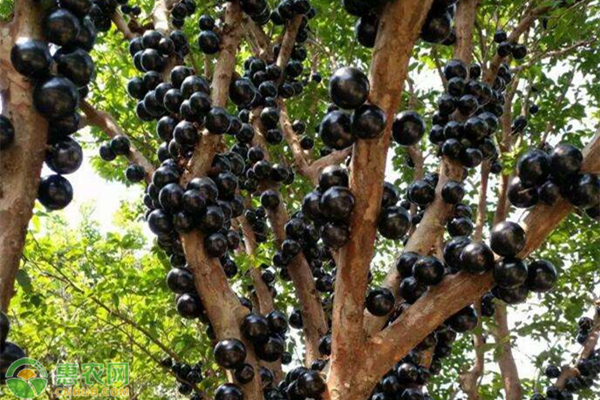 像葡萄一样的紫黑水果有哪些?