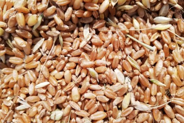 2021年今日小麦价格最新行情预测