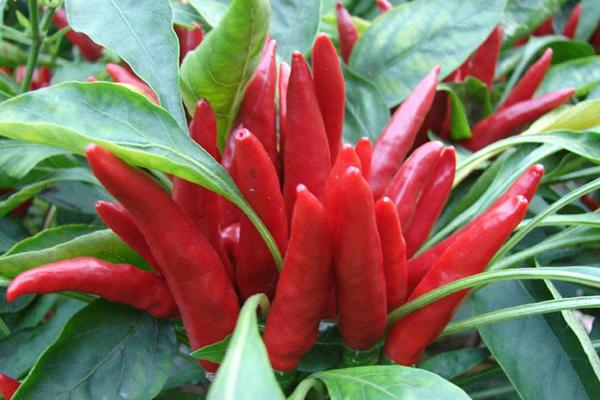 朝天椒什么品种好?