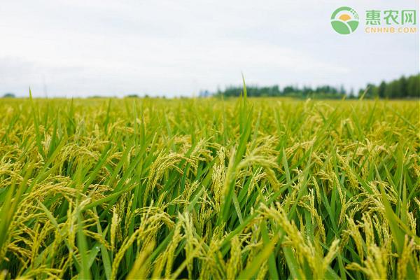 2021年水稻最低收购价多少钱一斤?水稻为何涨价?
