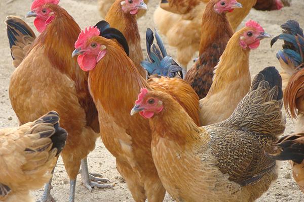 农村养殖土鸡挣钱吗?土鸡养殖成本利润分析
