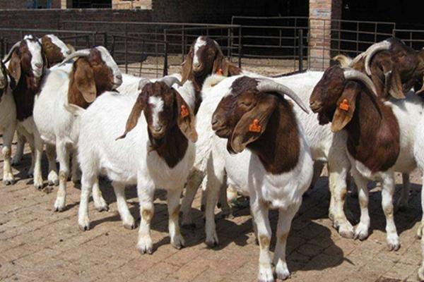 波尔山羊种羊多少钱一只?养波尔山羊赚钱吗?