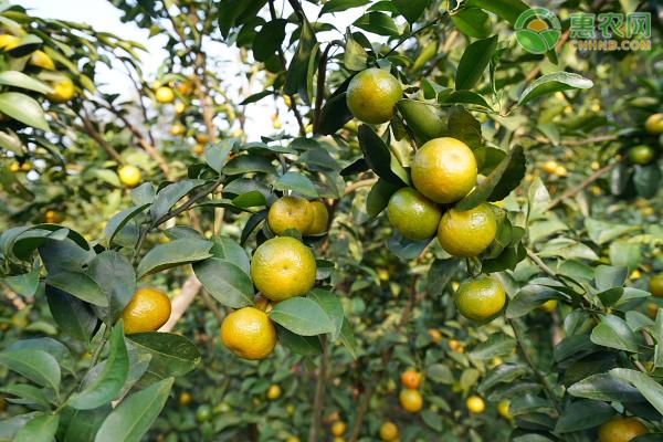 沙糖桔树苗高产种植技术