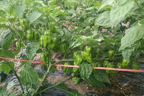 春季种什么椒?受欢迎的8个辣椒品种