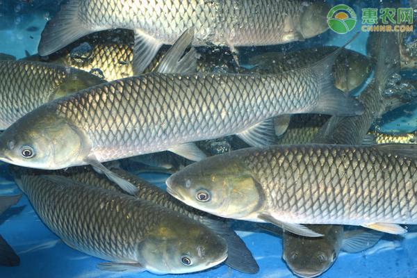 青鱼为什么比草鱼贵?青鱼和草鱼有何区别?
