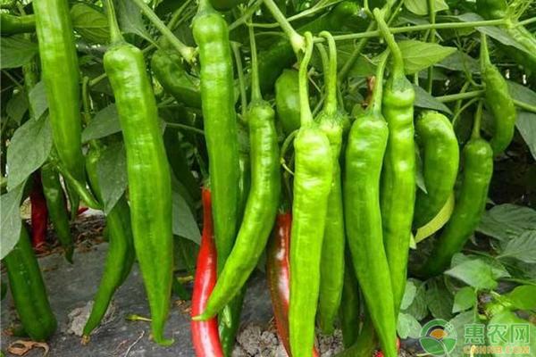 青椒苗价格多少钱一株?辣椒主产区有哪些?