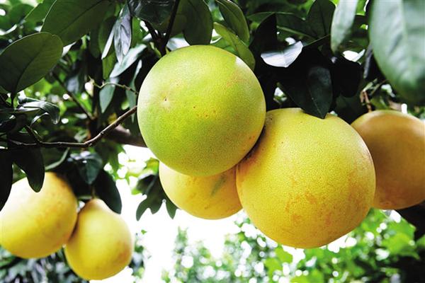 红心蜜柚苗价格多少钱一株?红心蜜柚产地有哪些?