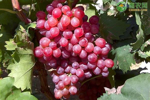 红宝石葡萄价格多少钱一斤?红宝石葡萄价格为何这么贵?