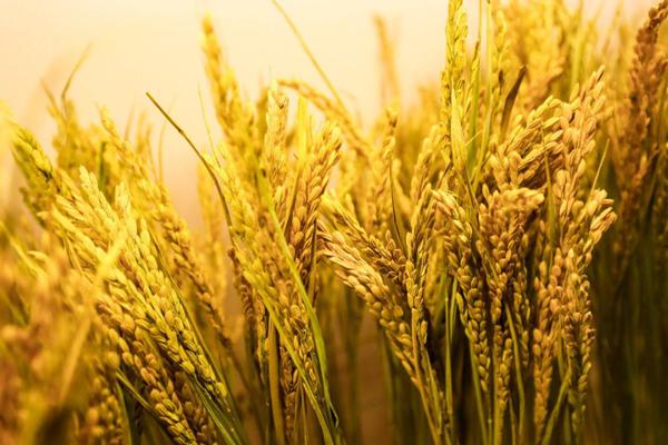 2021年4月大米价格行情分析及预测