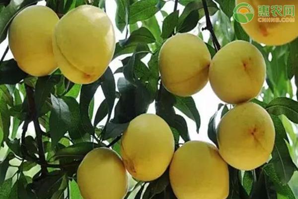 黄金桃树苗多少钱一棵?黄金桃种植前景如何?