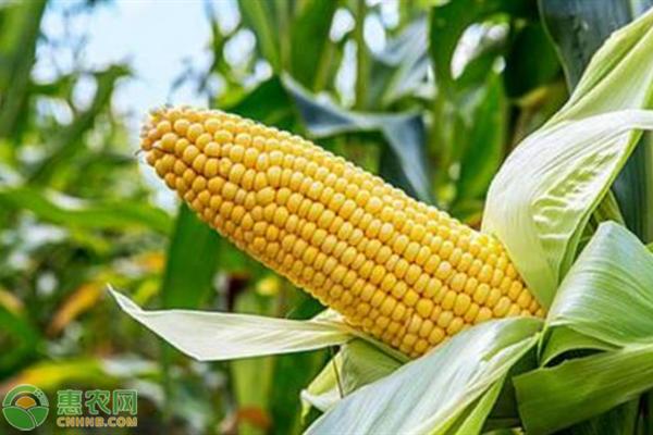 亩产3000斤的玉米品种有哪些?