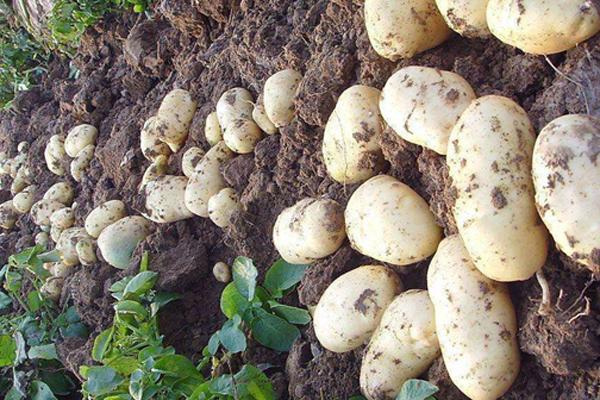 种植马铃薯之前一定要用基肥,什么样的肥料做基肥最好?
