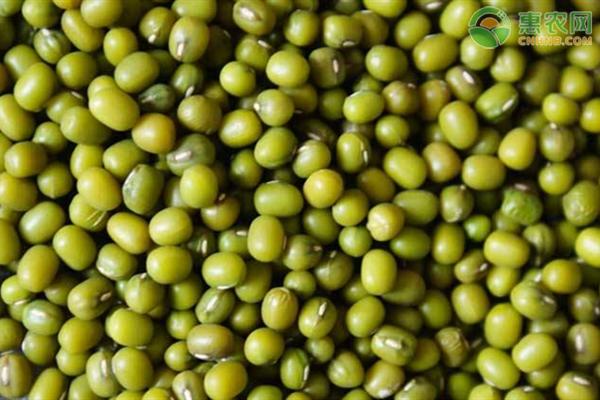 绿豆高产关键种植技术