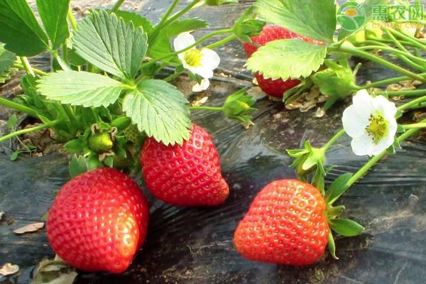 大棚草莓管理技术及病虫害防治