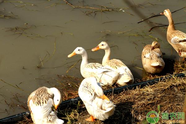 鸭怎么分公母?有哪些鉴别方法?