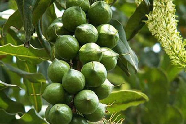 夏威夷果的产地在哪?夏威夷果种植前景分析