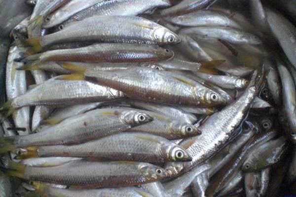 鲦鱼产地在哪?鲦鱼养殖前景分析