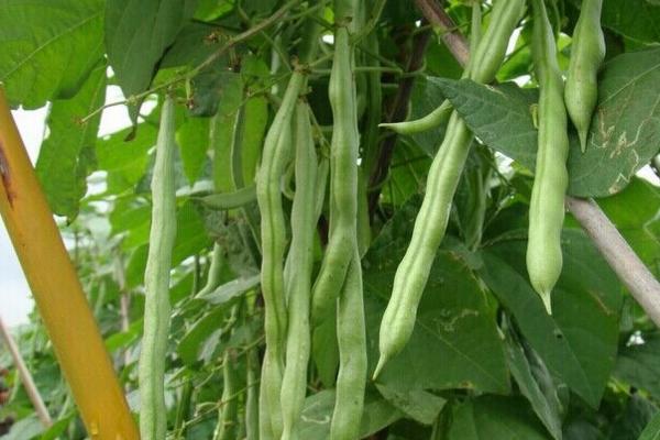 四季豆原产地在哪?四季豆与豆角有何区别?