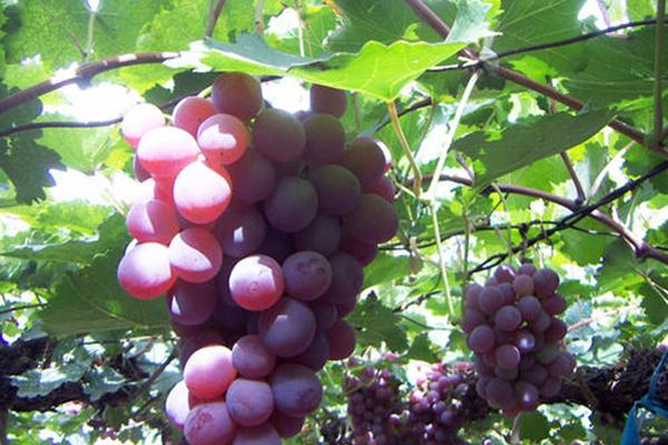 葡萄在哪里有产?葡萄种植前景好吗?