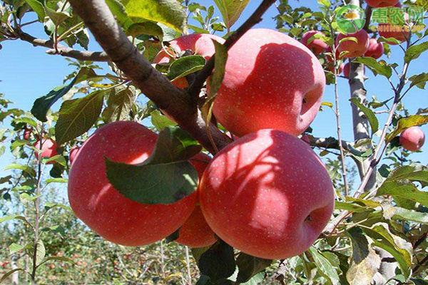 丑苹果产地在哪?主栽苹果品种有哪些?