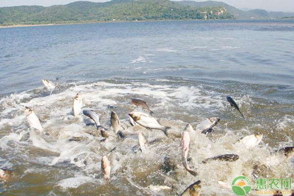 鲢鱼主要产地在哪?常见的品种有哪些?