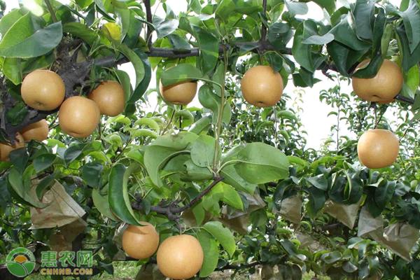 秋月梨和皇冠梨有什么区别?