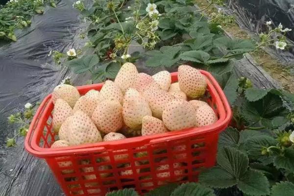 如何選購無病高產草莓苗?