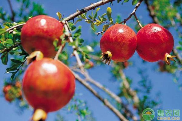 红如意石榴几月份成熟?