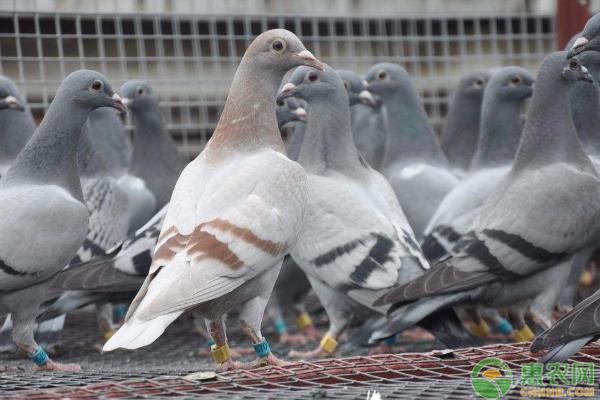 鹌鹑和鸽子的区别是什么?