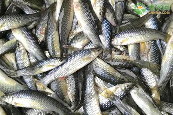 麦穗鱼是什么鱼?