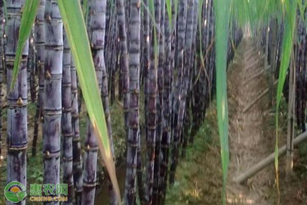 水田甘蔗高产高糖栽培方法是什么?