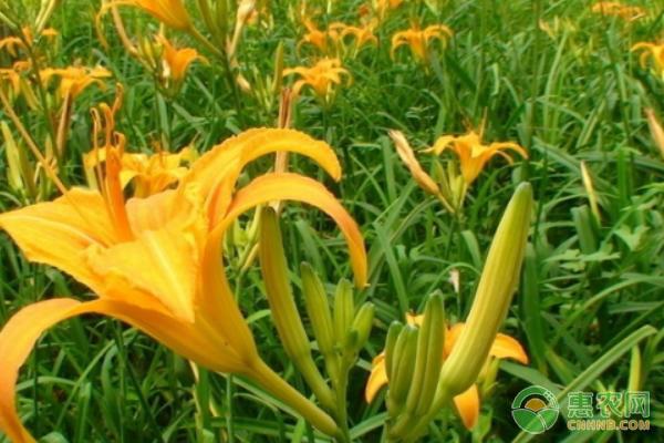 黄花菜的种植与栽培图片