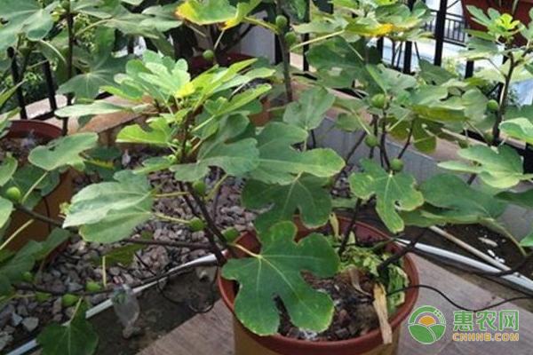盆栽无花果的种植步骤及养护方法