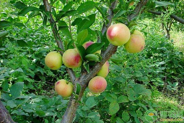 果树根系肥及叶面肥作用