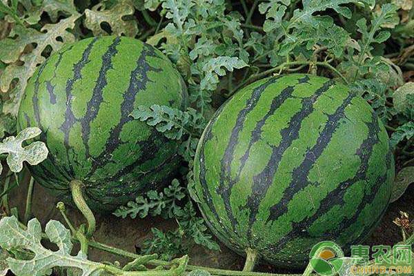 西瓜种植想丰产,这些植物特性要注意了解!