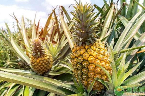 春季菠萝种植管理要点