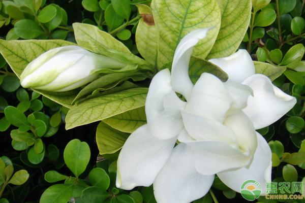 养殖栀子花